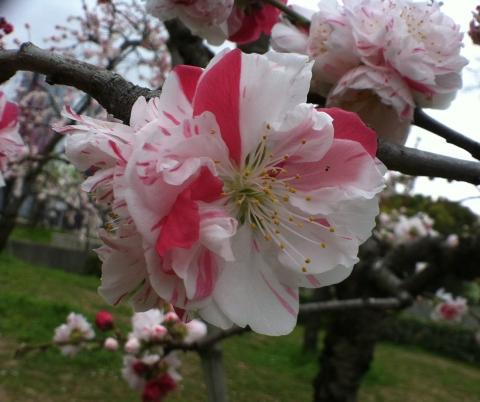Flor bi-color