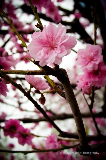 Sakuras en el Palacio de Osaka