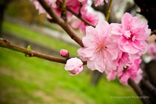 Flor Sakura