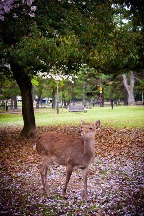 Ciervo de Nara