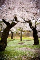 Cerezos en flor en Nara